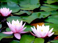 Lotus Sutra - Wikipedia
