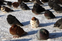 Frozen angry birds