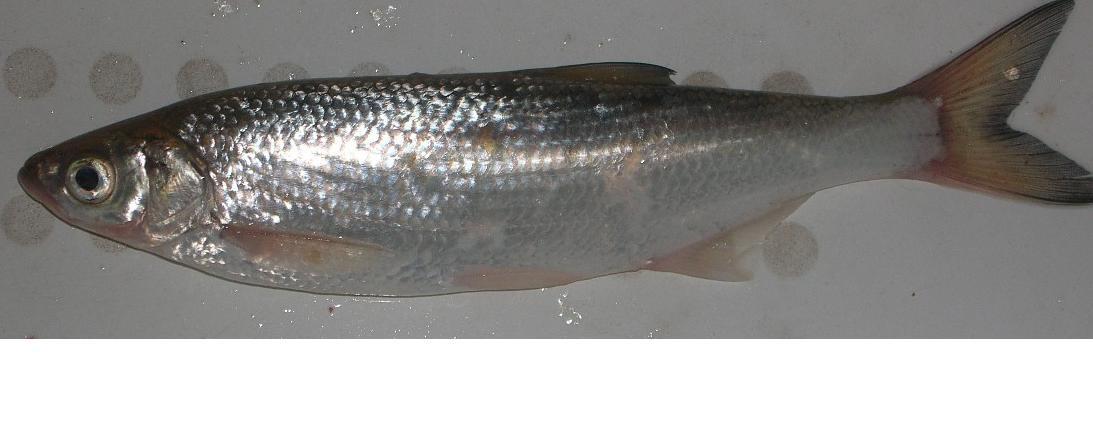 Штрафы за рыбу шамайку