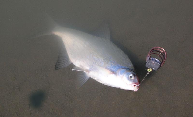 Как сделать снасть на рыбца
